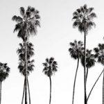 Palmier noir et blanc : déco murale grand format